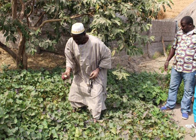 Men working in their orange-fleshed sweet potatoes home gardens.