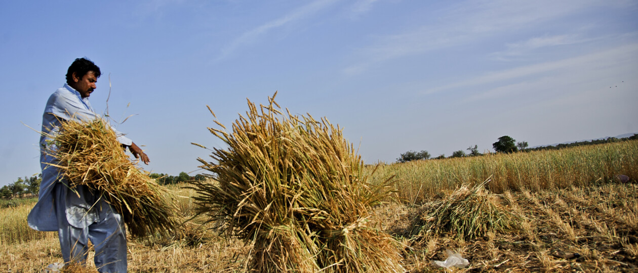 Field of wheat in Pakistan. A farmer is carrying a barrel of wheat in the foreground amidst a blue sky backdrop.